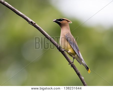Beautiful Cedar Waxwing male (Bombycilla Cedrorum), a member of the Bombycillidae family, is perched on a single branch looking left