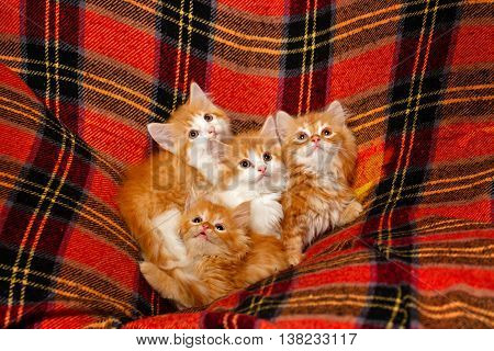 Four cute little red kittens hiding in the folds of tartan plaid. Pets. Funny animals.