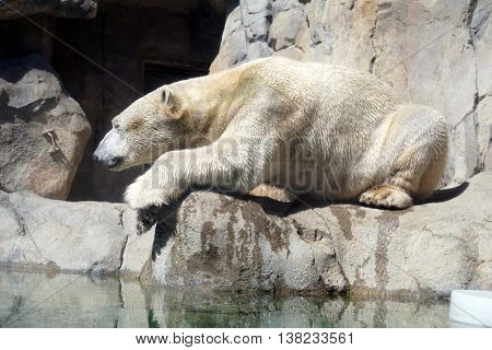 A white polar bear (Ursus maritimus) sits on a ledge.