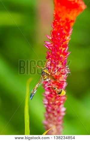 a little cute hymenoptera on red flower