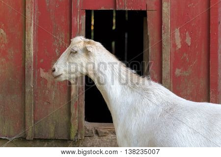 Goat standing beside a red barn at a farm