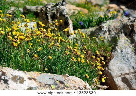 Yellow Ross Alpine Aven Wildflower Flower With Rocks