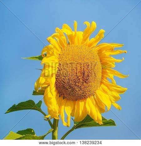 Beautiful sunflower against blue sky in summer no