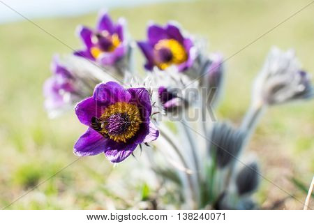 flower pasqueflower growing on a spring meadow