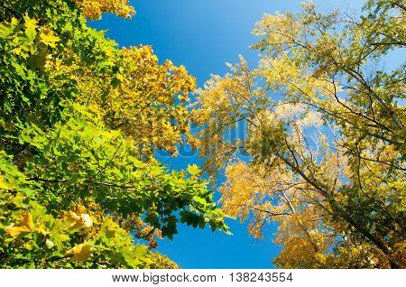 Autumn Maple Leaves Blue Yellow Orange Sky 10