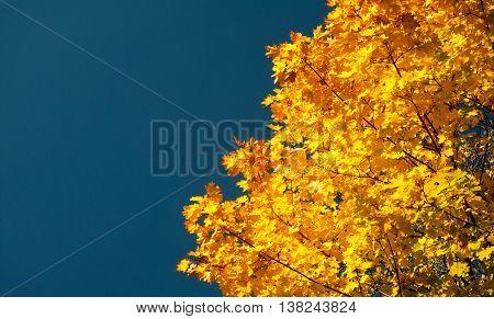 Autumn Maple Leaves Blue Yellow Orange Sky 14