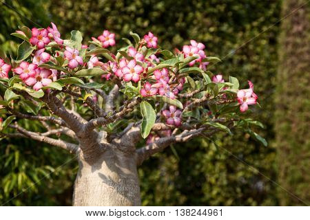 Mini bonsai baobab tree blossoming in a park. Pink flowers bloom