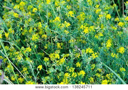 Lucerne, alfalfa. Medicago lupulina - normally an annual herbaceous plant species of the genus of Medicago, family Fabaceae. (This plant is also called: black medick, nonesuch, or hop clover)