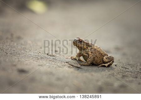 Wild Brown Toad Walking On Sand