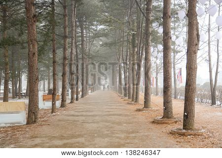 Row of pine trees landscape in winter season at Nami island one of famous place in South Korea