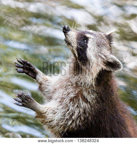 Adult Raccoon Begging