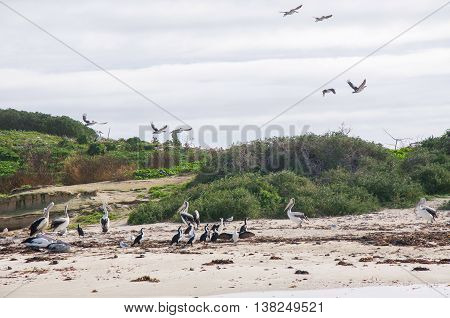 Pelicans in flight with pelicans and pied cormorants on sandy beach on remote island with native green dune plants in Rockingham, Western Australia.