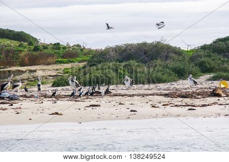 Wild nesting pelicans, pied cormorants and brown sea lion on a vegetated remote island beach with native flora and birds in flight in Rockingham, Western Australia.