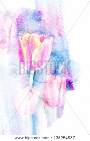 Abstract watercolor illustration of blossom tulip. Watercolor painting. Floral watercolor illustration.