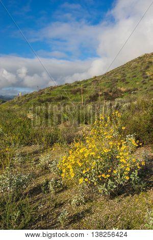 California Daisy On Hillside