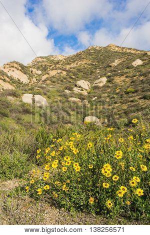 Yellow Wildflower Mountain Meadow