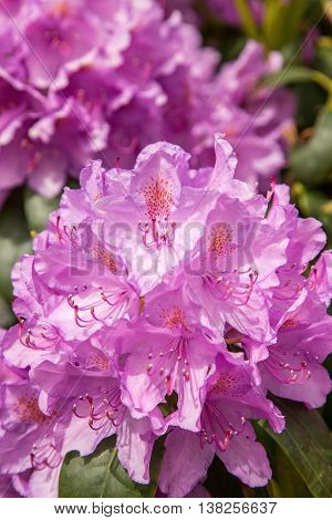 This is  Purple Rhododendron in park tipperary, Ireland