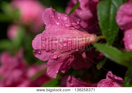 Bloom of pink rhododendron flower with water drops
