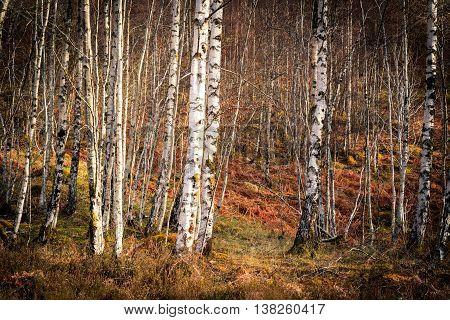 A Silver birch woodland in winter. UK.