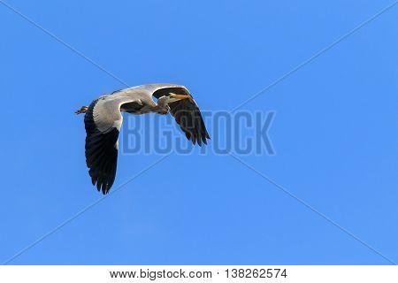 Grey Heron (Ardea cinerea) in flight with a blue sky