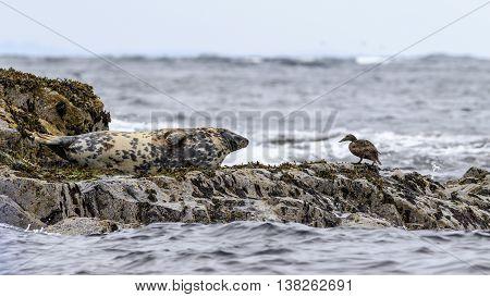 Grey seal Farne Islands Nature Reserve England