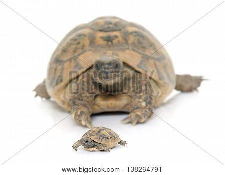 Hermanns Tortoise and baby turtles in studio