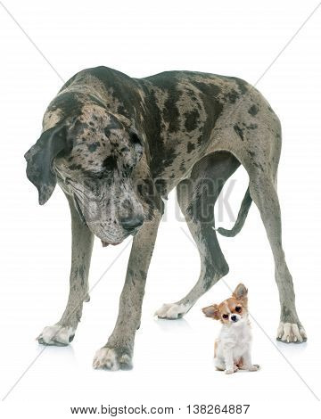 Great Dane and puppy chihuahua in front of white background
