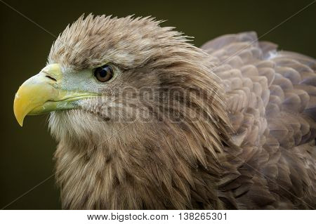 White tailed sea eagle (Haliaeetus albicilla) portrait