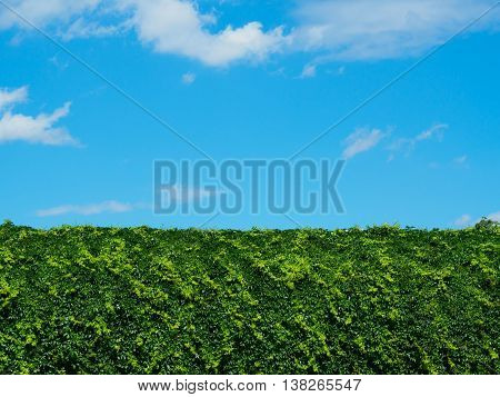 Tall hedge with blue sky in background