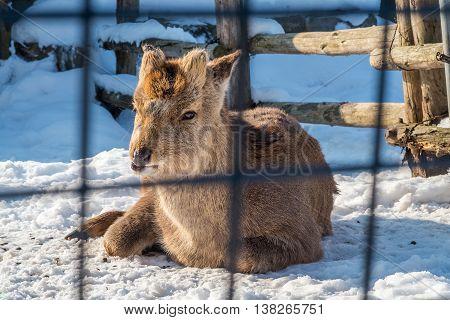Sika deer lie in snow in field