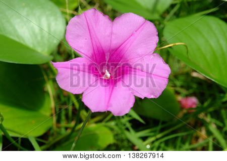 pink flowers (Ipomoea pes-caprae) on tropical beach