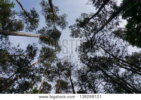looking up to the crowns of the trees