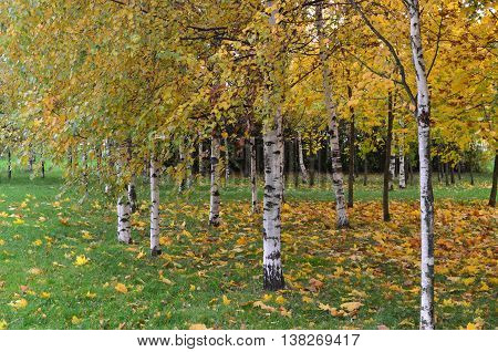 Birch trees and fallen leaves in autumn
