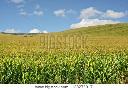 Hilly corn farmland in summer. Agriculture in eastern Europe