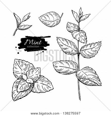 Mint vector drawing set. Isolated mint plant and leaves. Herbal engraved style illustration. Detailed organic product sketch. Cooking spicy ingredient