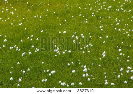 Blooming natural cottongrass (Eriophorum) within green grass