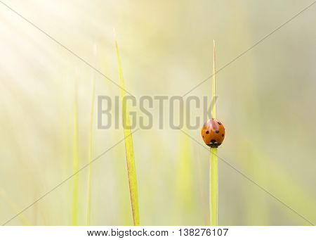 ladybird on a blade of grass colorful summer background