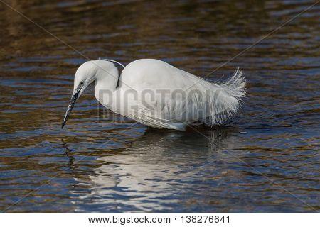 Portrait of little egret (Egretta garzetta) bird in the sunlight