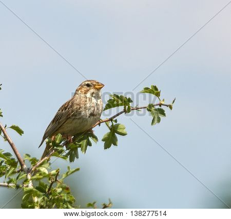 Corn Bunting Bird Perched