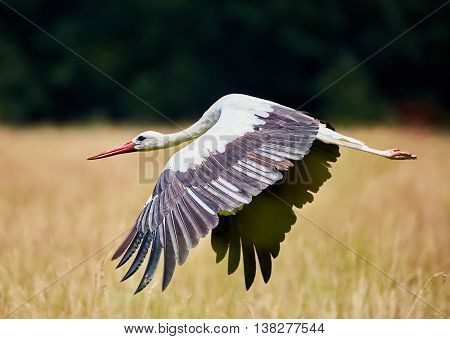 White Stork Taking Off