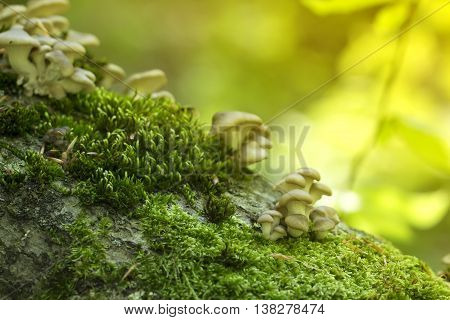 Young mushrooms on a mossy tree stump in a sunny spring forest