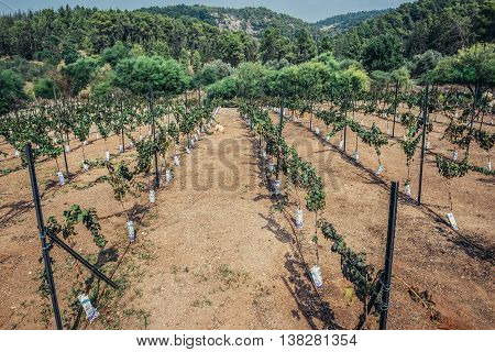 Eshtaol Israel - October 19 2015. Row of wine grapes in vineyard in Eshtaol moshav