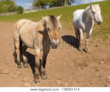 Dun cream coloured pony with white friend