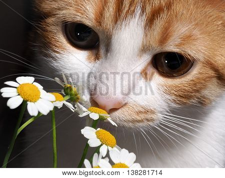 Cat smelling a daisy. Nose cats and flowers close. The cat is white with red