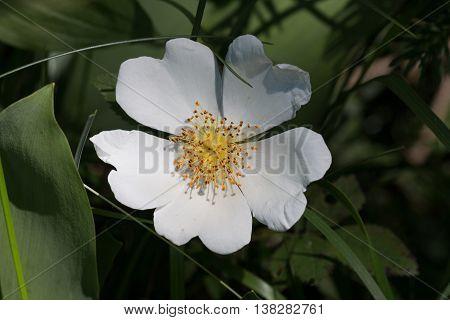 One White Rosa Canina Blossom Wildlife