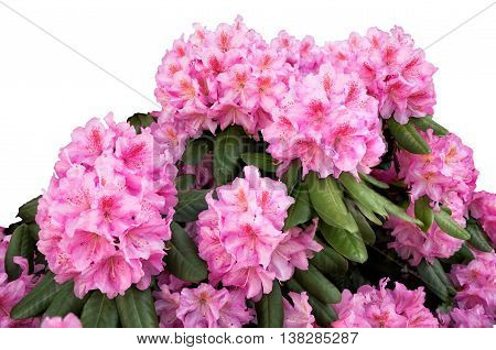 Blooming Pink Rhododendron On White Background