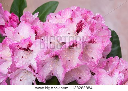 Light Pink Rhododendron Blossoms With Dew Drops