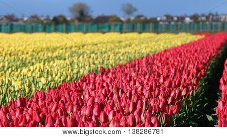 Beautiful outdoor scenery in Netherlands. Dutch bulb field of colorful tulips.