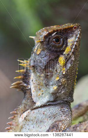 Masked Spiny Lizard Closeup