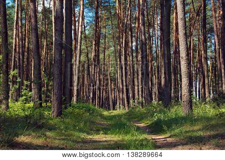 pine forest with footpath in the center of picture and blue sky